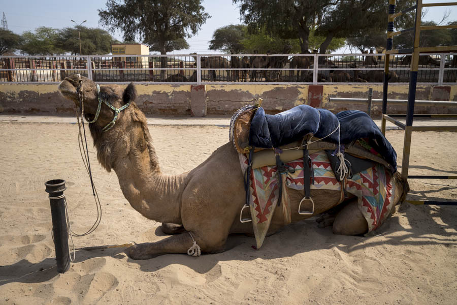 Camel for Tourist Rides