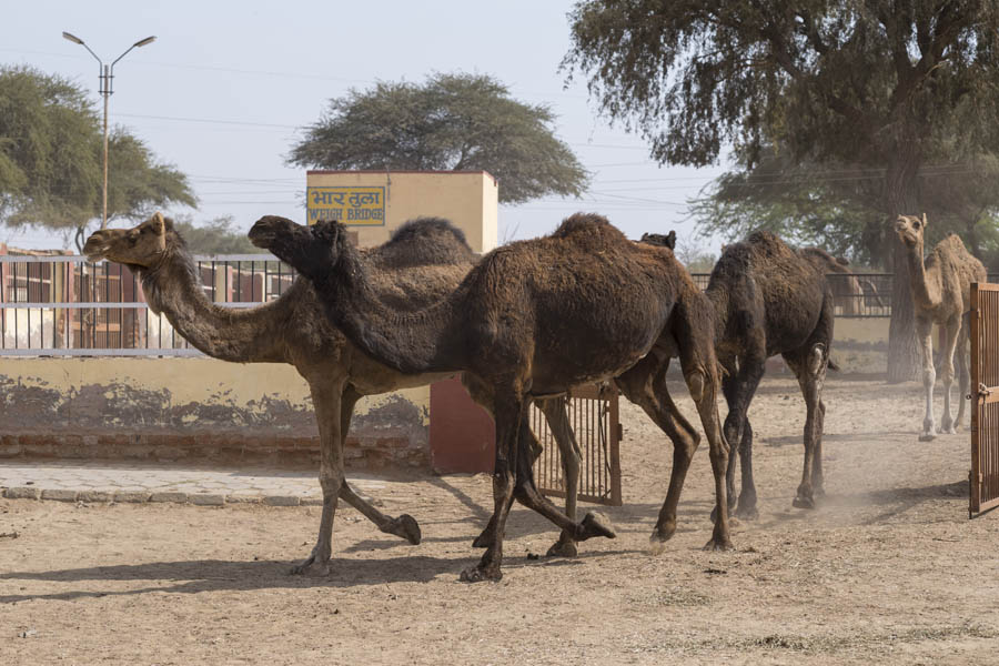 Female camels running to water