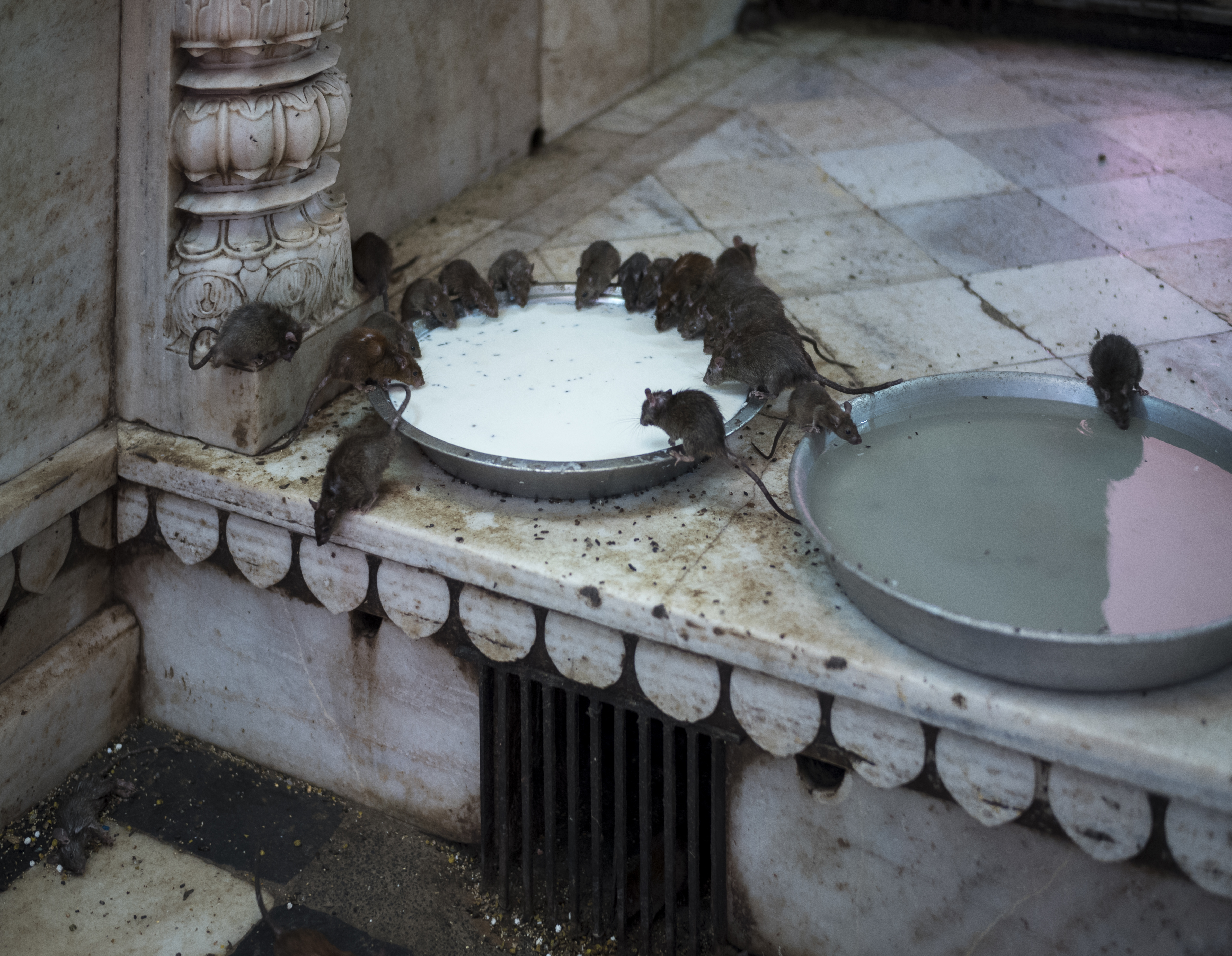 Rats Feeding on Milk & Water - Karni Mata Temple