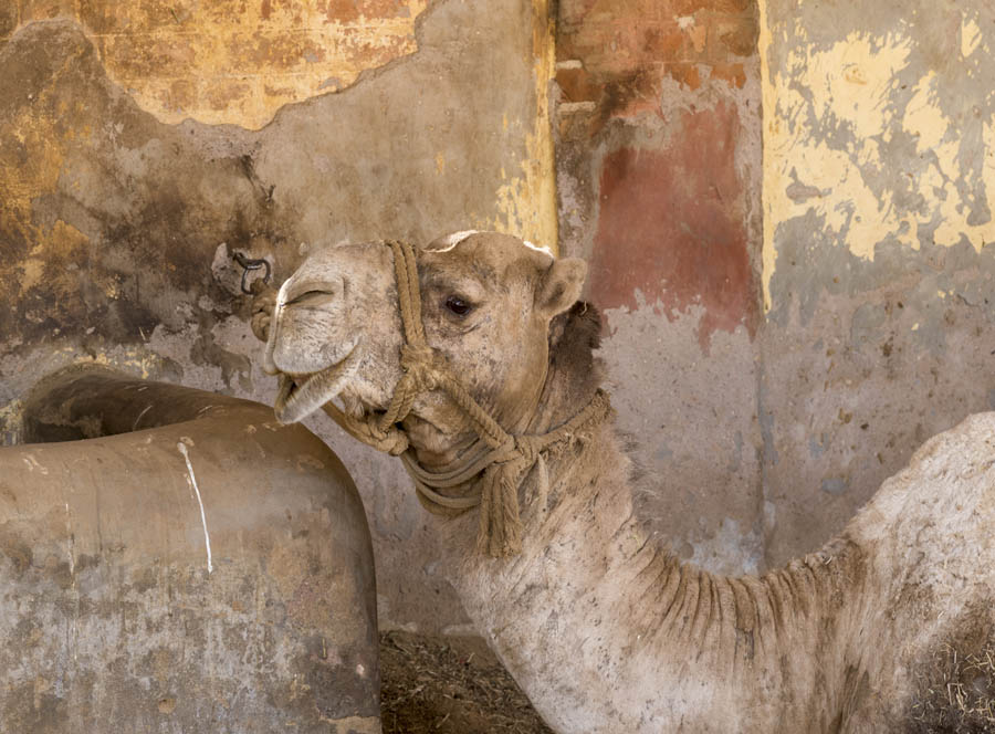 Stud Camel at Rest Tied to a Wall