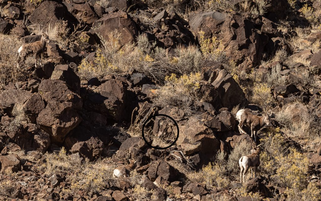 Five Bighorn Sheep on the Cliffs of the Rio Grande