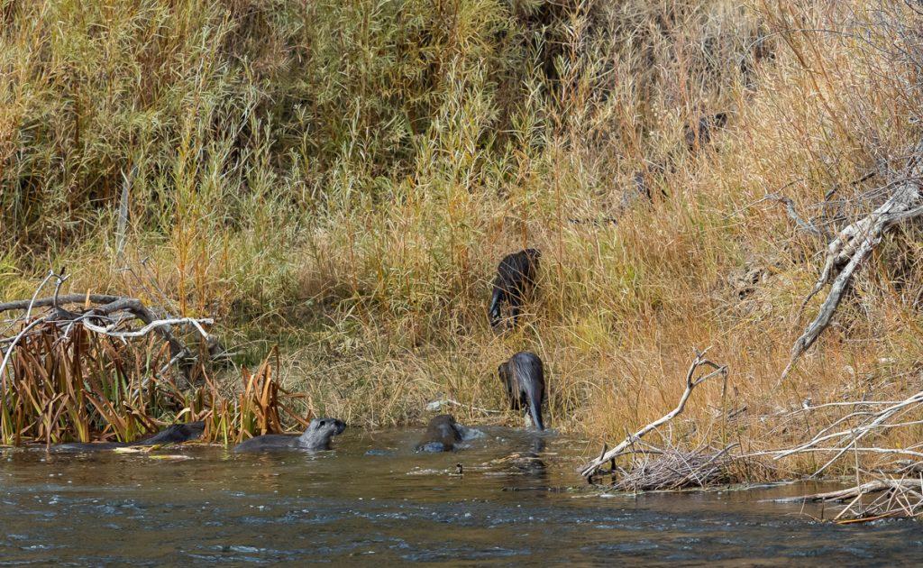 River Otters on the Rio Grande